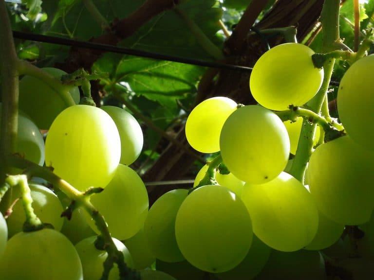 Druivenkwekerij Nieuw Tuinzight - druiven