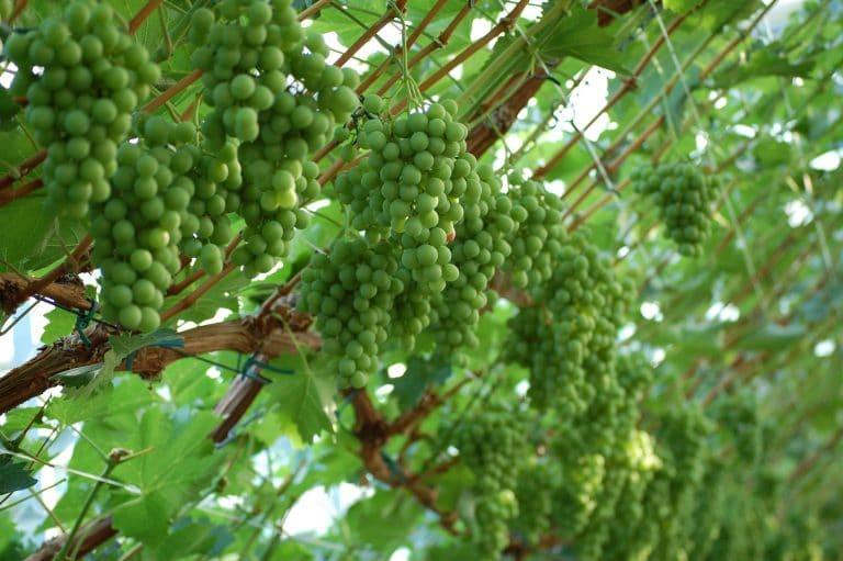 Druivenkwekerij Nieuw Tuinzight - witte druiven