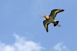 Weidevogelbeheer Grutto Midden Delfland