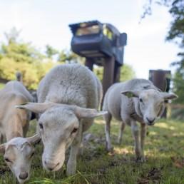 schapen in de dierenweide van De Vreemde Vogel in Midden-Delfland