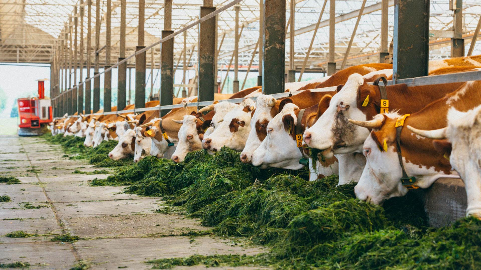 koeien in de open stal van Hoeve Biesland in Midden-Delfland