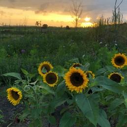 zonnebloemen in de avondzon in de Pluktuin Schipluiden die opent voor publiek in 2022
